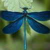 bluedragonflie6